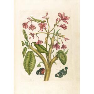 Red Jasmine Tree Plumeria Rubra - Maria Sibylla Merian - Metamorphosis insectorum Surinamensium (2nd edition) – Museum quality giclee print by Heritage Prints