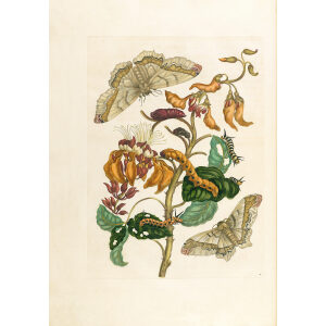 Coral Tree with Emperor Moth - Maria Sibylla Merian - Metamorphosis insectorum Surinamensium (2nd edition) – Museum quality giclee print by Heritage Prints