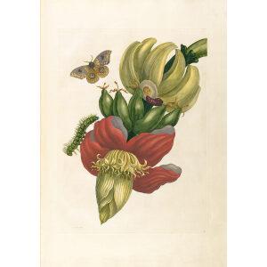 Banana - Maria Sibylla Merian - Metamorphosis insectorum Surinamensium (2nd edition) – Museum quality giclee print by Heritage Prints