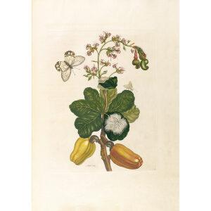 Cashew - Maria Sibylla Merian - Metamorphosis insectorum Surinamensium (2nd edition) – Museum quality giclee print by Heritage Prints