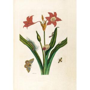 Red Amaryllis - Maria Sibylla Merian - Metamorphosis insectorum Surinamensium (2nd edition) – Museum quality giclee print by Heritage Prints