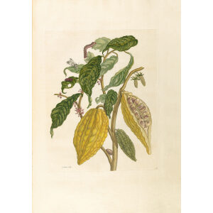 Cocoa Plant - Maria Sibylla Merian - Metamorphosis insectorum Surinamensium (2nd edition) – Museum quality giclee print by Heritage Prints