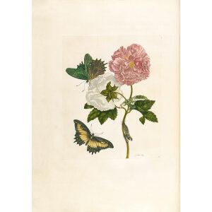 Cotton Rose - Maria Sibylla Merian - Metamorphosis insectorum Surinamensium (2nd edition) – Museum quality giclee print by Heritage Prints