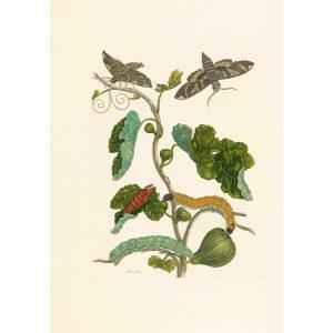 Fig (2)- Maria Sibylla Merian - Metamorphosis insectorum Surinamensium (2nd edition) – Museum quality giclee print by Heritage Prints