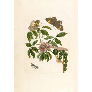 Painted Lady - Maria Sibylla Merian - Metamorphosis insectorum Surinamensium (2nd edition) – Museum quality giclee print by Heritage Prints