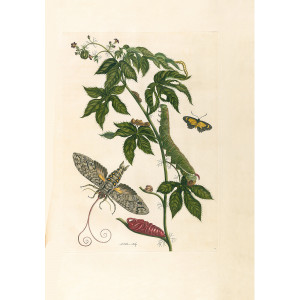 Cotton Leaf Jatropha & Mimicry Moth - Maria Sibylla Merian - Metamorphosis insectorum Surinamensium (2nd edition) – Museum quality giclee print by Heritage Prints