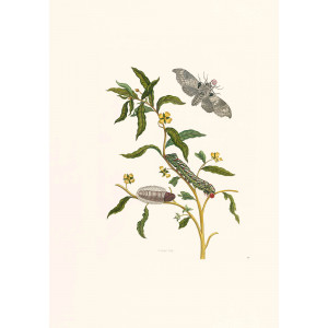 Emperor Moth - Maria Sibylla Merian - Metamorphosis insectorum Surinamensium (2nd edition) – Museum quality giclee print by Heritage Prints
