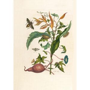 Sweet Potato -- Maria Sibylla Merian - Metamorphosis insectorum Surinamensium (2nd edition) – Museum quality giclee print by Heritage Prints