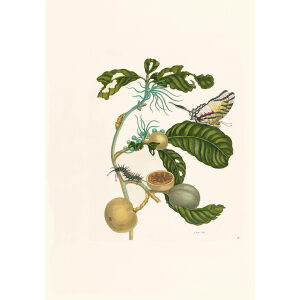 Swallow-tailed Butterfly & Passion Flower - Maria Sibylla Merian - Metamorphosis insectorum Surinamensium (2nd edition) – Museum quality giclee print by Heritage Prints