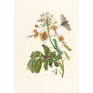 Orange Flowers - Maria Sibylla Merian - Metamorphosis insectorum Surinamensium (2nd edition) – Museum quality giclee print by Heritage Prints