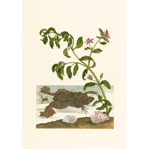 Female Toad and Young with Watercress - Maria Sibylla Merian - Metamorphosis insectorum Surinamensium (2nd edition) – Museum quality giclee print by Heritage Prints