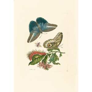 Caligo Butterfly Wasp and Acanthacae - Maria Sibylla Merian - Metamorphosis insectorum Surinamensium (2nd edition) – Museum quality giclee print by Heritage Prints