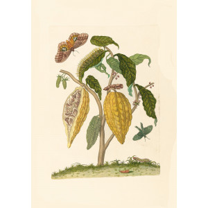 Cocoa - Maria Sibylla Merian - Metamorphosis insectorum Surinamensium (2nd edition) – Museum quality giclee print by Heritage Prints