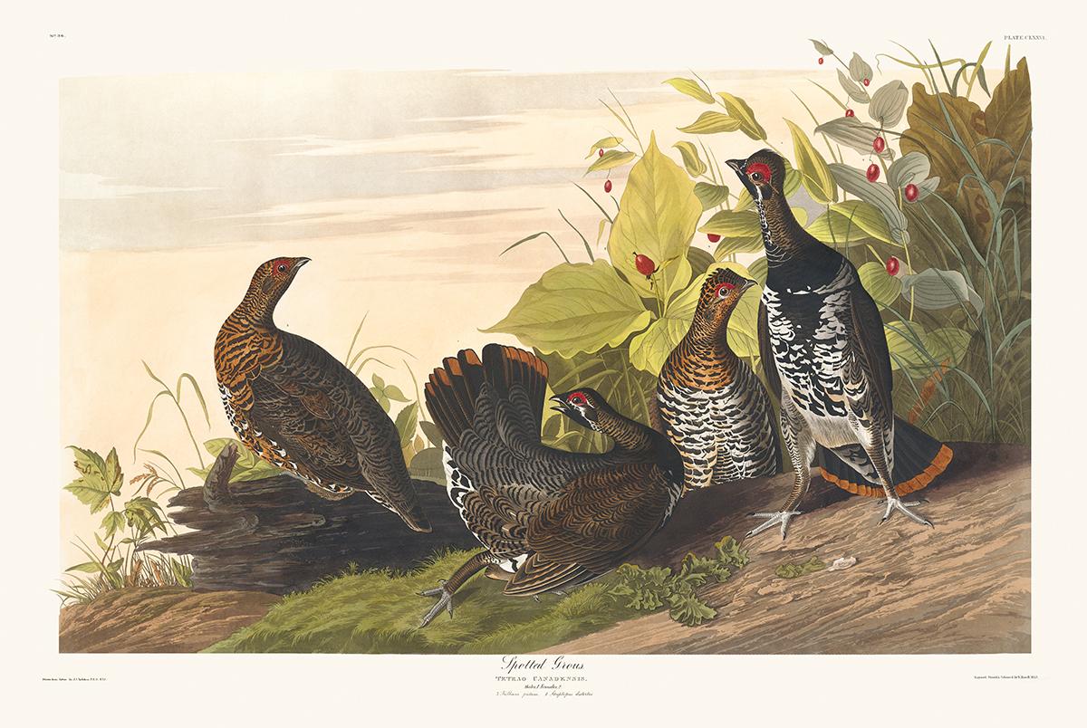 John James Audubon Birds of America Plate 176 Spotted Grouse Giclée Print
