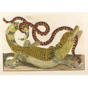 Caiman - Maria Sibylla Merian - Metamorphosis insectorum Surinamensium (2nd edition) – Museum quality giclee print by Heritage Prints