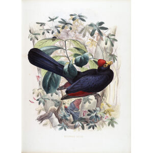 Schlegel - Ross's Turaco
