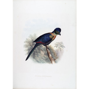 Schlegel - Purple crested Turaco