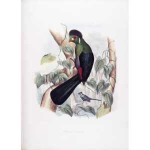 Schlegel - White cheeked Turaco