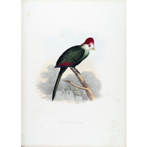 Schlegel - Red crested Turaco