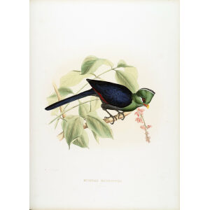 Schlegel - Yellow Beaked Turaco