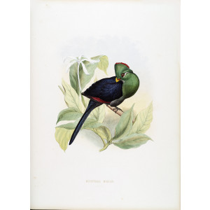 Schlegel - Yellow billed Turaco