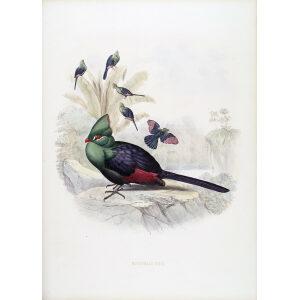 Schlegel - Guinea Turaco