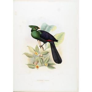 Schlegel - Senegal or Buffons Turaco
