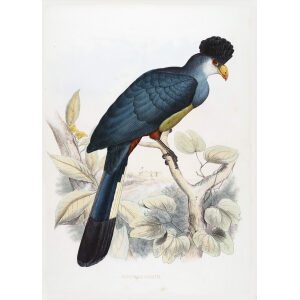 Schlegel - Great Bleu Turaco