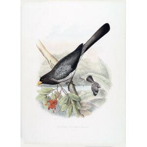 Schlegel Turaco - Western Plantain-eater