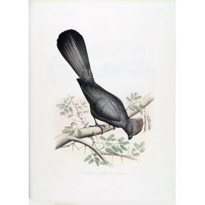 Schlegel Turaco - Grey Go-away-bird