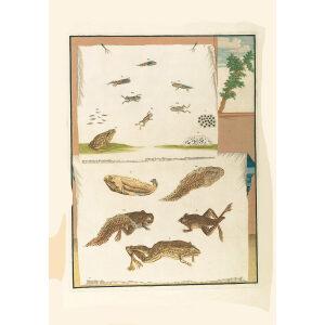 Frog metamorphic stages - Maria Sibylla Merian - Metamorphosis insectorum Surinamensium (2nd edition) – Museum quality giclee print by Heritage Prints