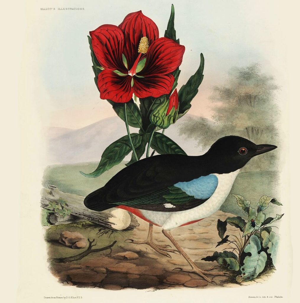Heritage Prints is a Fine Art Studio that focuses on historic giclée prints. Complete set Family of the Ant Thrushes - Daniel Giraud Elliot