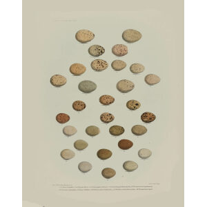 Daniel Elliot Family of the grouse - Plate 26 - Eggs by W. Morgan. Museum quality giclee print