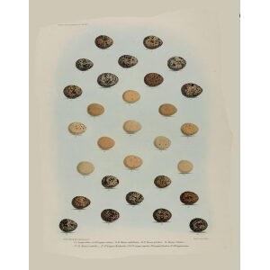 Daniel Elliot Family of the grouse - Pate 27 - Eggs by W. Morgan. Museum quality giclee print