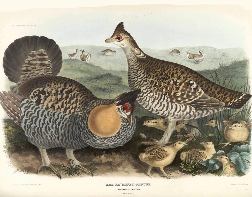 Heritage Prints is a Fine Art Studio that focuses on historic giclée prints. Complete set Family of the Grouse - Daniel Giraud Elliot