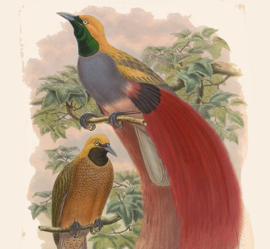 Heritage Prints is a Fine Art Studio that focuses on historic giclée prints. Complete set Birds of New Guinea and the adjacent Papuan Islands - John Gold