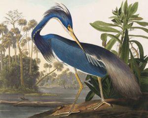 John James Audubon Birds of America Plate 217 Louisiana Heron Giclée Print
