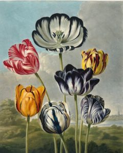 Tulips by Robert Thornton – Temple of Flora, or Garden of Nature – Museum Quality Giclee Print – Heritage Prints Facsimile