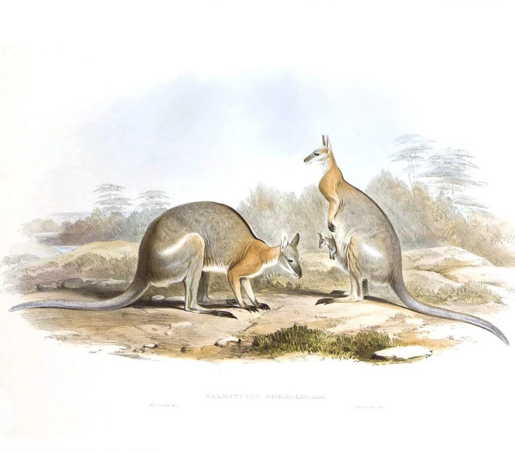 John Gould - Family of Kangaroo - Complete Set - Museum quality giclee print