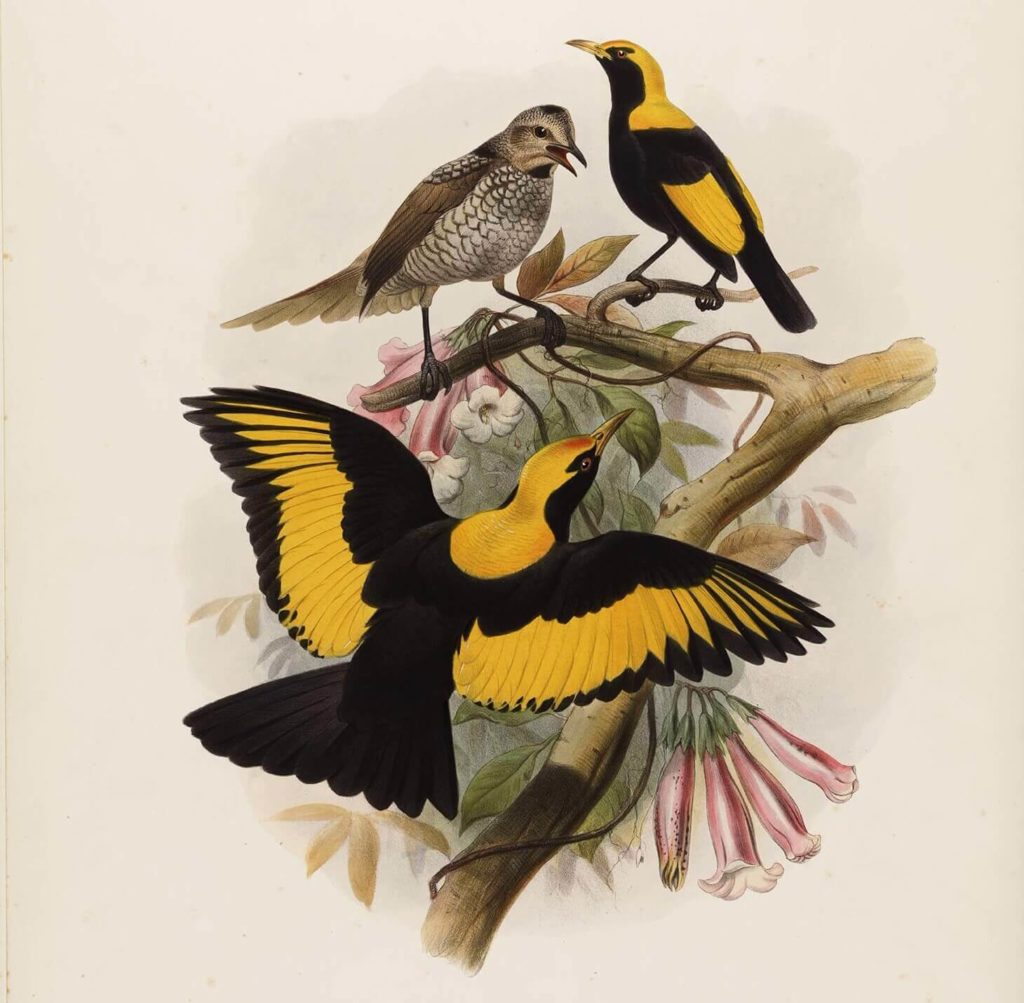 John Gould - Compete Set - Birds of New Guinea - Museum quality giclee prints