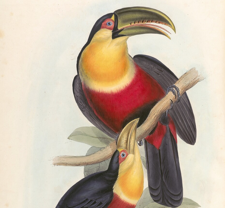 Red Breasted Toucan John Gould A Monograph of Ramphastidae or Family of Toucans Plate 003 Museum quality giclee print