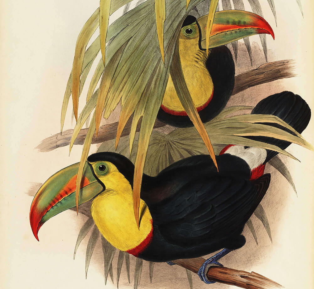 John Gould - Complete Set - A Monograph of the Ramphastidae, or Family of Toucans - Museum quality giclee prints