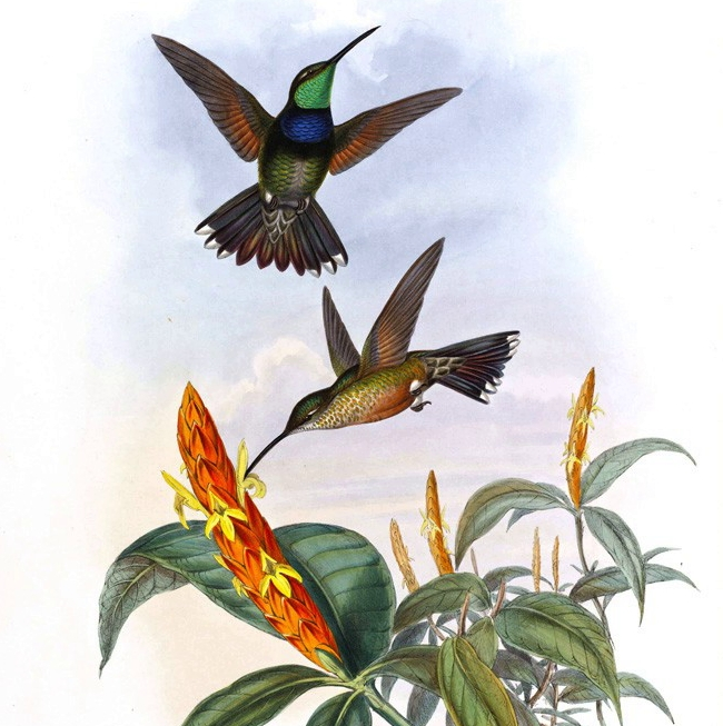 John Gould - Complete Set - Family of Hummingbirds Volume 1 - Museum quality giclee prints.