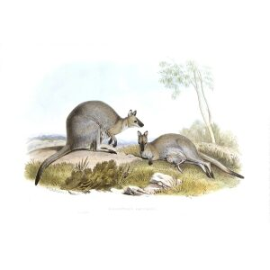 John Gould - Family of Kangaroo - Bennetts Wallaby - Museum quality giclee print