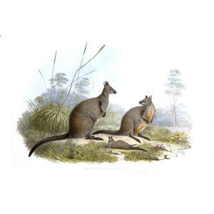 John Gould - Family of Kangaroo - Black Wallaby - Museum quality giclee print