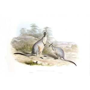 John Gould - Family of Kangaroo - Black gloved Wallaby - Museum quality giclee print