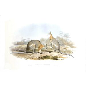 John Gould - Family of Kangaroo - Black striped Wallaby - Museum quality giclee print