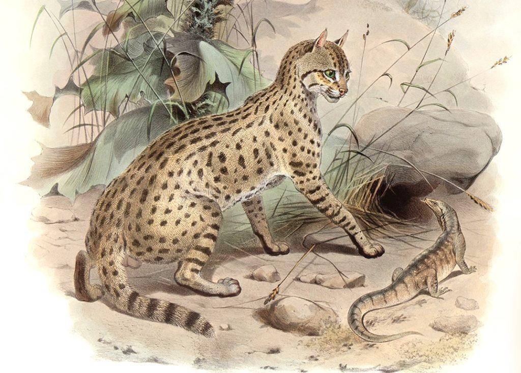 Felis Ornata. Desert Cat. Daniel Giraud Elliot. A Monograph of the Felidae or Family of Cats. Museum quality giclee print.