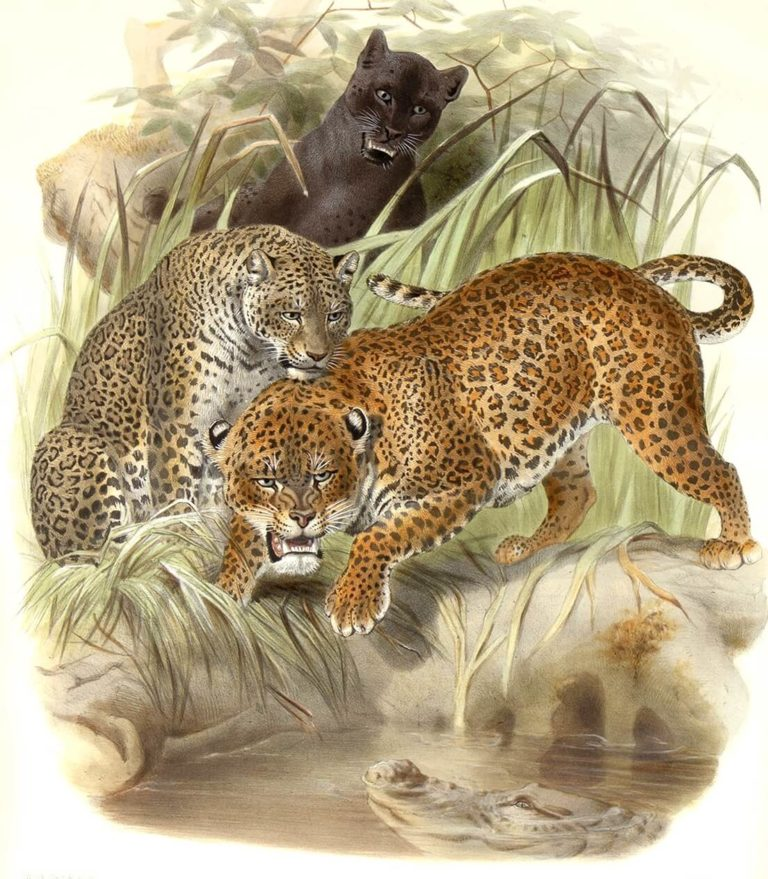 Felis Leopardus. Panther or Leopard. Daniel Giraud Elliot. A Monograph of the Felidae or Family of Cats. Museum quality giclee print.