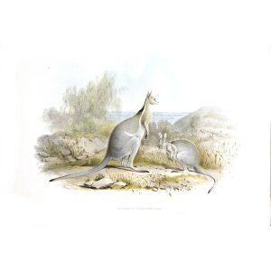 John Gould - Family of Kangaroo - Bridled Kangaroo - Museum quality giclee print
